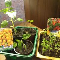 Миниатюрные помидоры или все-таки что-то другое растет?