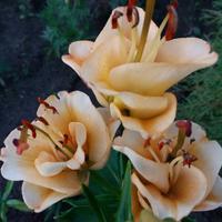Лилия Эприкот Фадж (Apricot Fudge) - или может тюльпан, или роза?