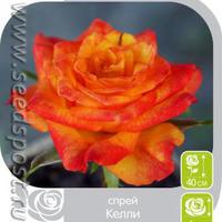 Розы Спрей - невообразимое цветение компактного кустика