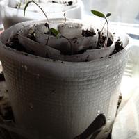 У всходов помидоров отсутствуют листочки. В чем причина?