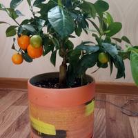 Как подобрать горшок по размеру для мандарина?