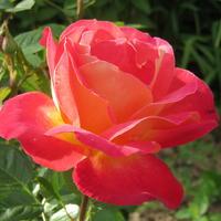 Эссе о моих розах