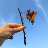 Отчет о летнем размножении роз и декоративных кустов черенками