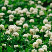 Стоит ли делать газон из белого клевера?