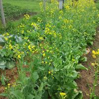 Как правильно выращивать капусту брокколи?