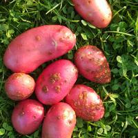 Чем болеет картофель?