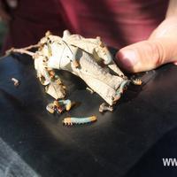 Что это за гусеница?