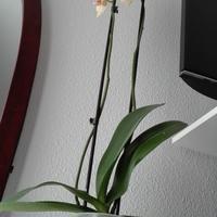 Помогите определить, стоит ли пересаживать орхидею