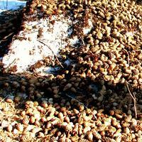 Имеет ли смысл засыпать пол в погребе еловыми шишечками?