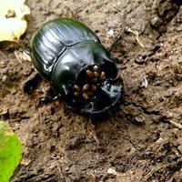 Рядом с рогом жука-носорога большое количество каких-то маленьких жучков. Как это объяснить?