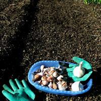Тестирование перчаток Garden Genie Gloves. Тест 6: посадка озимого чеснока