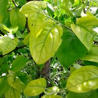 Почему у яблони желтеют листья?