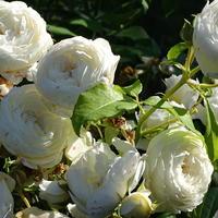 Английская роза Claire Austin