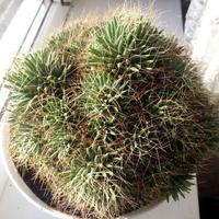 Подскажите название кактуса. Как его рассадить?
