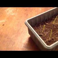 Эксперимент с проращиванием люффы и кукурузы