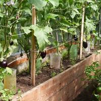 Новая теплица - первый опыт выращивания баклажанов