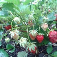 Как спасти клубнику от мучнистой росы?