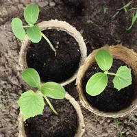 Как правильно высаживать в грунт рассаду, растущую в торфяных горшочках?