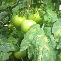 Что за болезнь у тепличных томатов и как ее избежать?