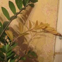 Почему-то пожелтела целая ветвь замиокулькаса. Может я его залил?