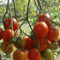 Наш, ставший уже родным, томат с королевским именем 'Крон-принц'