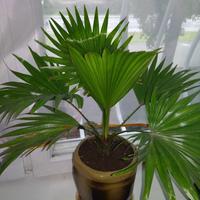 Пальма ливистона — южная красавица на моем подоконнике