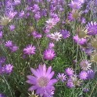 Цветок степей - бессмертник лиловый