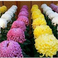 Как называются такие хризантемы?
