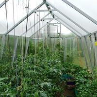 Подвязка вторых стволов у томатов. Превратим отходы в доходы!