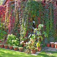 Какие ползучие и вьющиеся растения можно использовать при посадке «сверху-вниз» (по типу ампельных)?