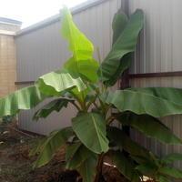"""Укрытие банана с сохранением """"ствола"""""""