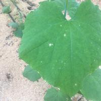 Что за белые пятна на листьях огурца?
