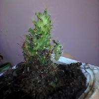 Помогите разобраться, что это за кактус