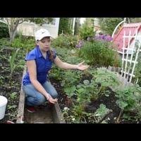 Чем подкормить клубнику осенью