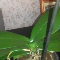 Желтеют и сохнут стебли фаленопсиса. Чем ему помочь?