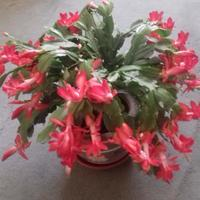 Как я выращиваю цветок декабря