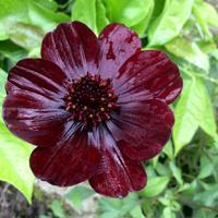 Шоколадная красавица - космея Cosmos atrosanguineus