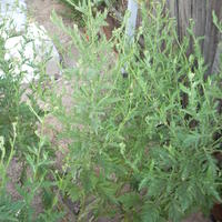 Помогите определить, что за растения растут во дворе