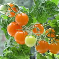 Маленькие солнышки «Оранжевой шапочки»