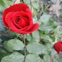 Хочу обрезать розы, но они ещё цветут. Минусовой температуры еще не было. Что посоветуете?