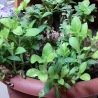 Интересует выращивание петунии в комнатных условиях