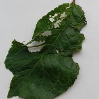 Кто поедает листья сливы?