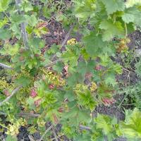 Почему у красной смородины появились красные листья? Как с этим бороться?