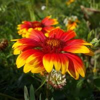 Гайлардия цветет