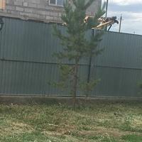 На каком расстоянии от забора можно сажать хвойные деревья?