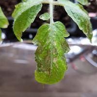 Что с рассадой помидоров? Как можно ее спасти?