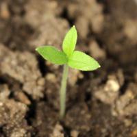 Почему три семядольных листика у баклажана?
