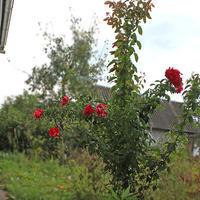 Можно ли розу на зиму по окружности окутать черным укрывным материалом?