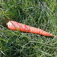 История моркови в США