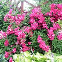 Красота и изысканность плетистой розы 'Эксцела'